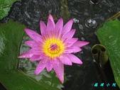 荷花蓮花:IMG_8095