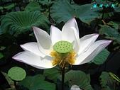 荷花蓮花:IMG_3842