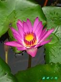 荷花蓮花:IMG_3678