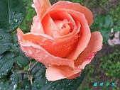 玫瑰薔薇:20130108_131542