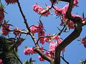 未分類相簿:多瓣櫻花