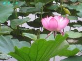 荷花蓮花:IMG_7879.jpg