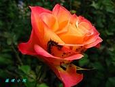 玫瑰薔薇:IMG_6666.jpg