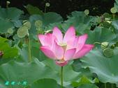 荷花蓮花:IMG_4041