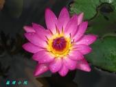 荷花蓮花:IMG_7516.jpg