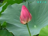 荷花蓮花:IMG_4122