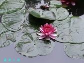 荷花蓮花:20000103_233303.jpg