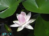 荷花蓮花:IMG_3767