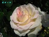 玫瑰薔薇:IMG_0438