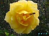 玫瑰薔薇:IMG_6702.jpg