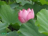 荷花蓮花:IMG_4300.jpg
