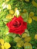玫瑰薔薇:IMG_5643.jpg