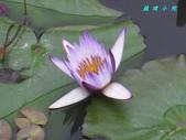 荷花蓮花:IMG_7909.jpg