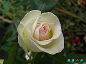玫瑰薔薇:IMG_0441.jpg
