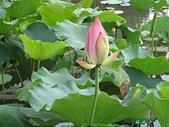 荷花蓮花:IMG_4298