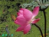 荷花蓮花:20200818_091058.jpg