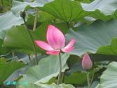 荷花蓮花:IMG_7894.jpg