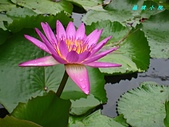 荷花蓮花:IMG_9257