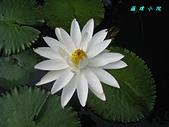 荷花蓮花:IMG_3789