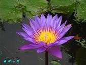 荷花蓮花:IMG_8599