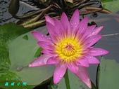 荷花蓮花:IMG_8102.jpg