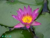 荷花蓮花:IMG_8778.jpg