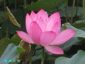 荷花蓮花:IMG_7871.jpg