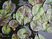 荷花蓮花:IMG_4180.jpg