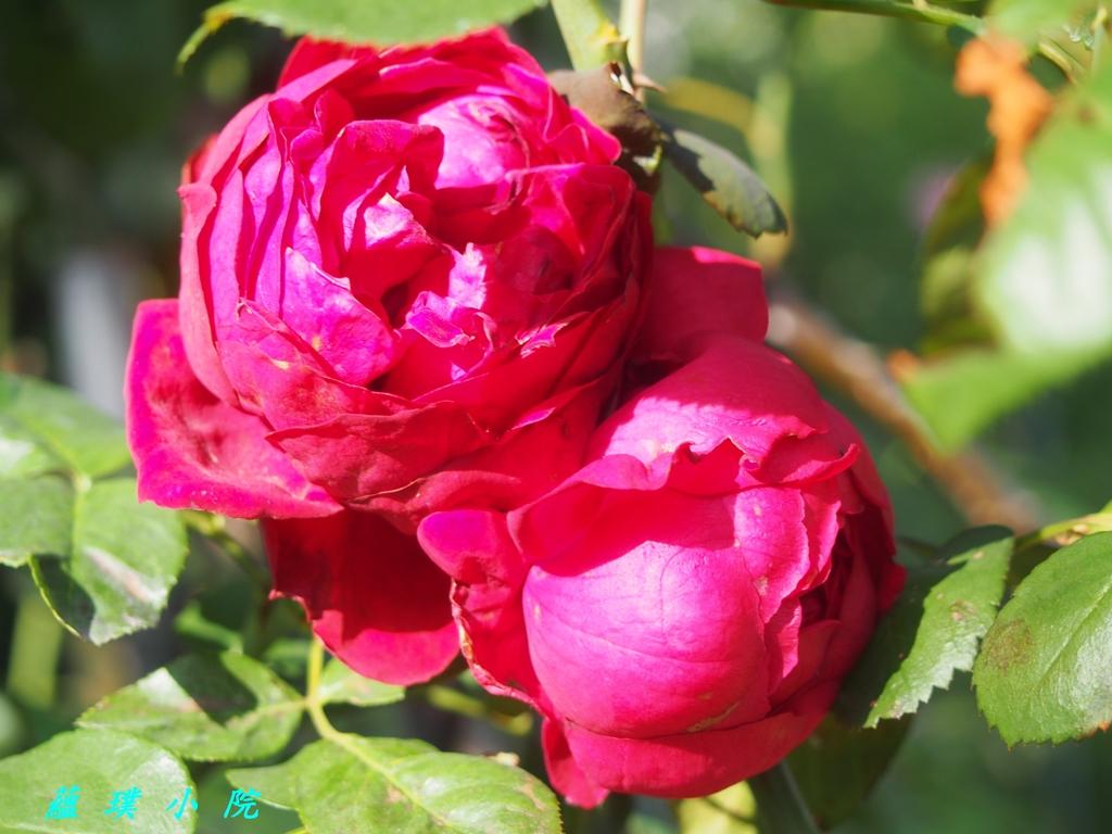玫瑰薔薇:PB140676.jpg