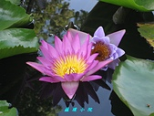 荷花蓮花:IMG_9200