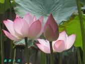 荷花蓮花:IMG_6240.JPG