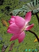 荷花蓮花:20200818_091052.jpg