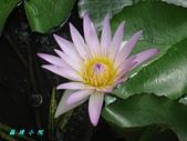 荷花蓮花:IMG_3491