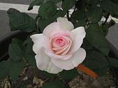 玫瑰薔薇:雅頌
