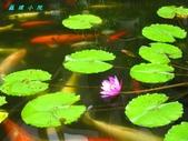 荷花蓮花:IMG_5152.jpg