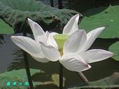 荷花蓮花:IMG_3831