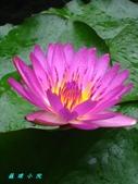 荷花蓮花:IMG_5126.jpg