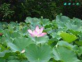 荷花蓮花:IMG_4132