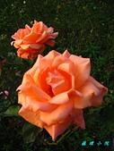 玫瑰薔薇:IMG_6674