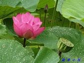 荷花蓮花:20200608_092143.jpg