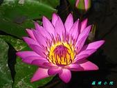 荷花蓮花:IMG_9561