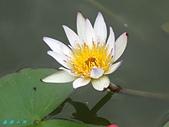 荷花蓮花:IMG_6225