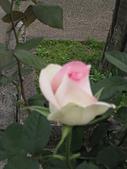 玫瑰薔薇:朦朧美