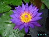 荷花蓮花:IMG_3666