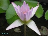 荷花蓮花:IMG_4179.jpg