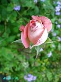 玫瑰薔薇:IMG_6652
