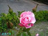 玫瑰薔薇:IMG_1952.jpg