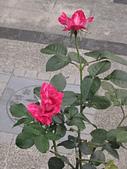 玫瑰薔薇:伴侶
