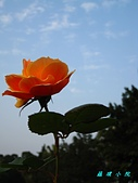 玫瑰薔薇:IMG_6676