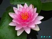 荷花蓮花:IMG_9242